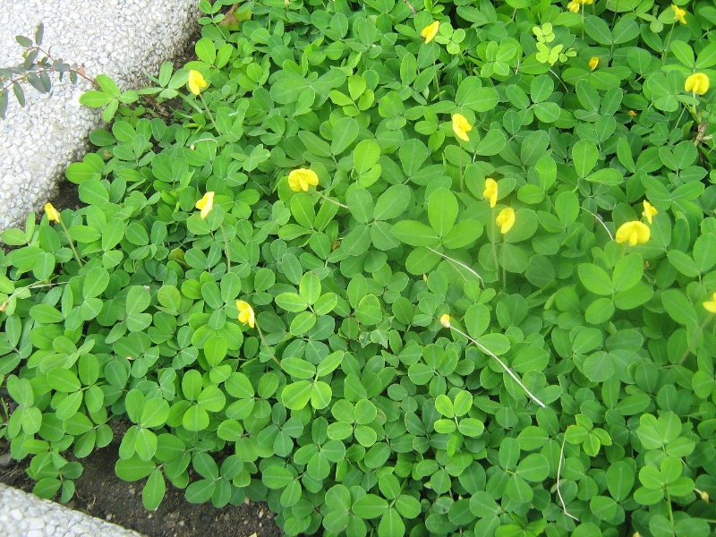 Arachis Pintoi peanut flowers and leaves