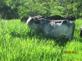 Cayman cows