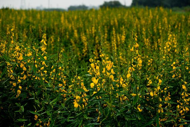 Crotalaria Juncea flowers
