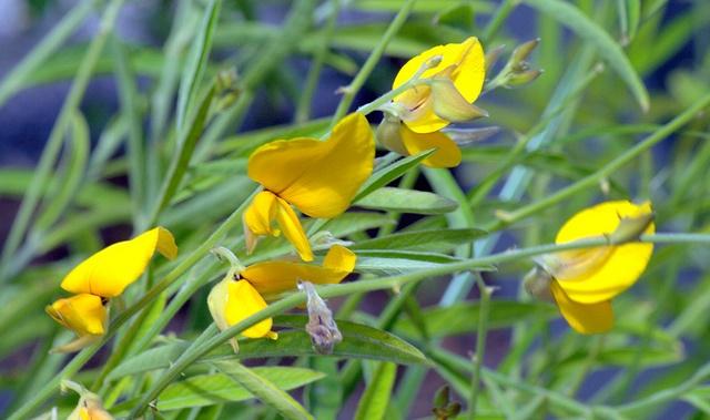 Crotalaria Juncea flower