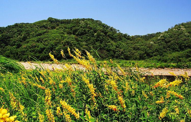 Crotalaria Juncea field flowering