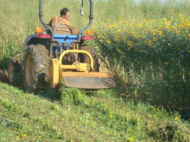 Harvesting Crotalaria Juncea