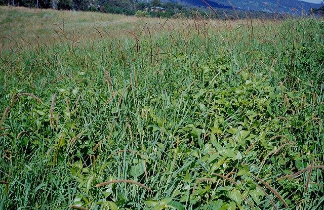 Desmodium Intortum field