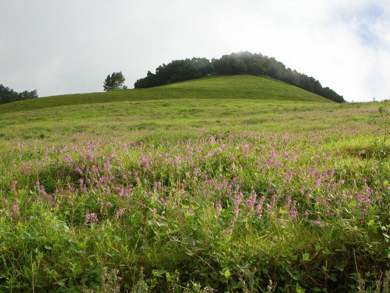 Desmodium Intortum field in blossom