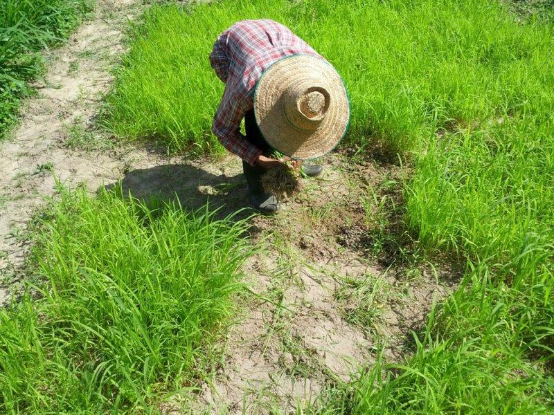 Semillero de una nueva variedad de Guinea Grass en investigación en el río Mun, Tailandia, Agosto 2016
