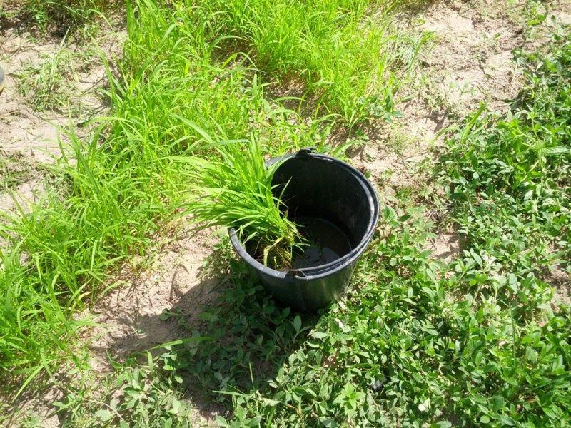 Remojo de plántulas de una nueva variedad de Guinea Grass en investigación en el río Mun, Tailandia, Agosto 2016