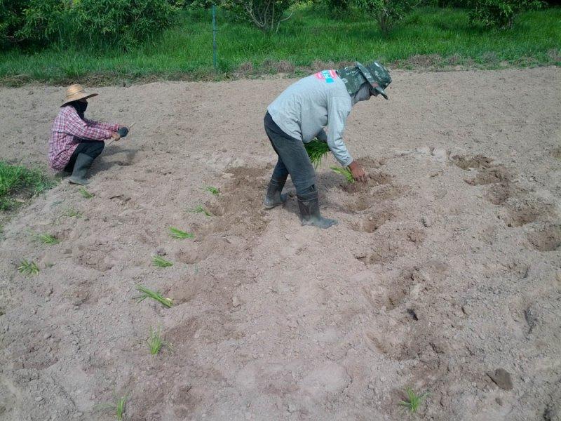 Plántulas recién plantadas de una nueva variedad de Guinea Grass en investigación en el río Mun, Tailandia, Agosto 2016