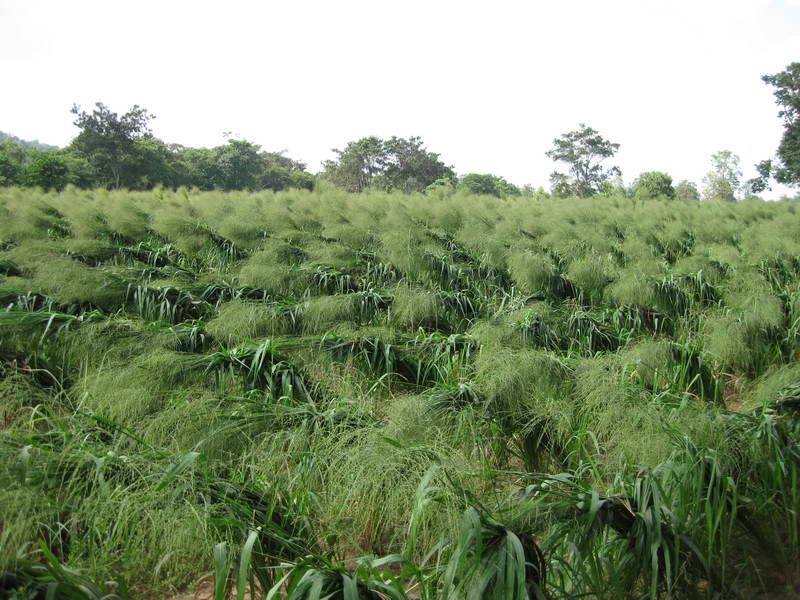 Cosecha de semilla Mombasa