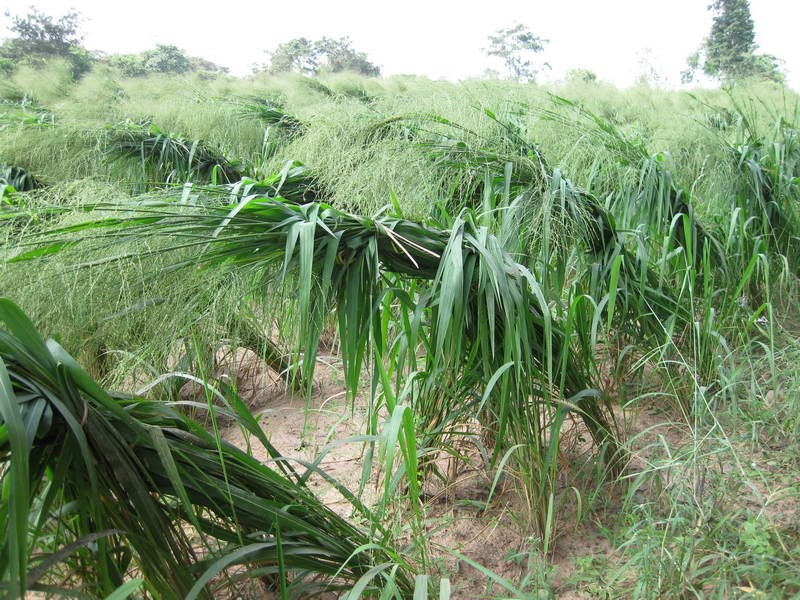 Cabezas atadas de semilla Mombasa