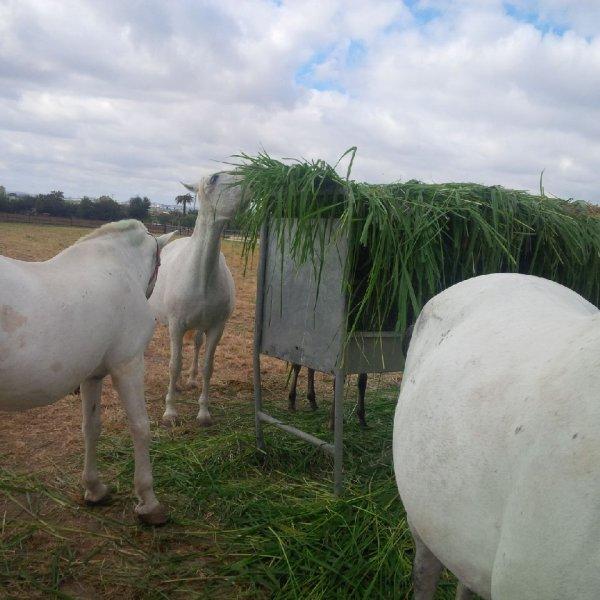Horses eating Mombasa / Siambaza