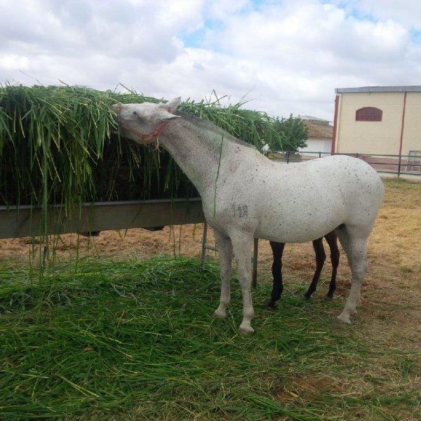 Horses eating Mombasa / Siambaza 2