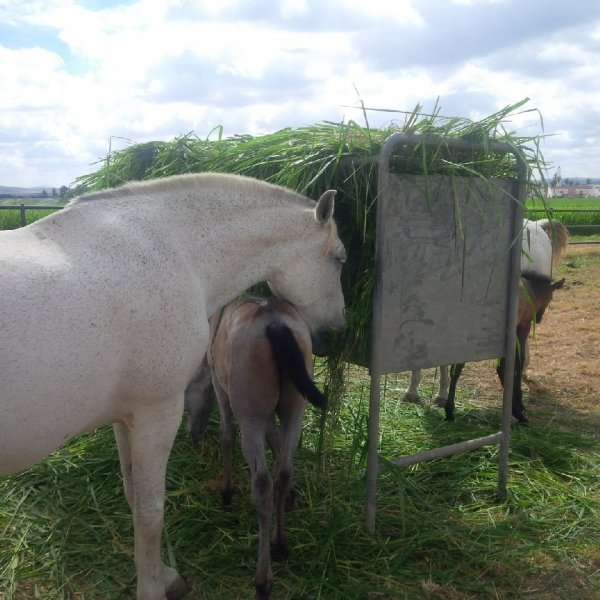 Horses eating Mombasa or Siambasa 3
