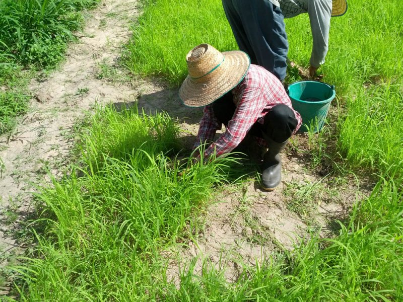 Guinea Grass new variety in research Thailand Mun River Seedling nursery August 10 2016
