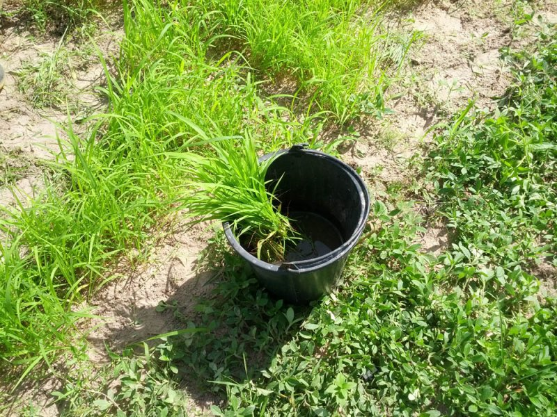 Guinea Grass new variety in research Thailand Mun River Seedlings soaking in water August 10 2016