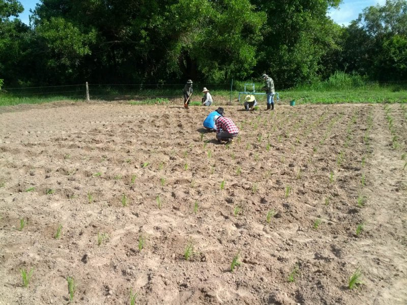 Guinea Grass new variety under research Thailand Mun River Seedlings being planted August 10 2016