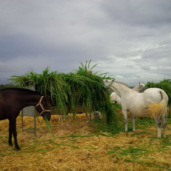 Horses eating Mombasa or Siambasa 4