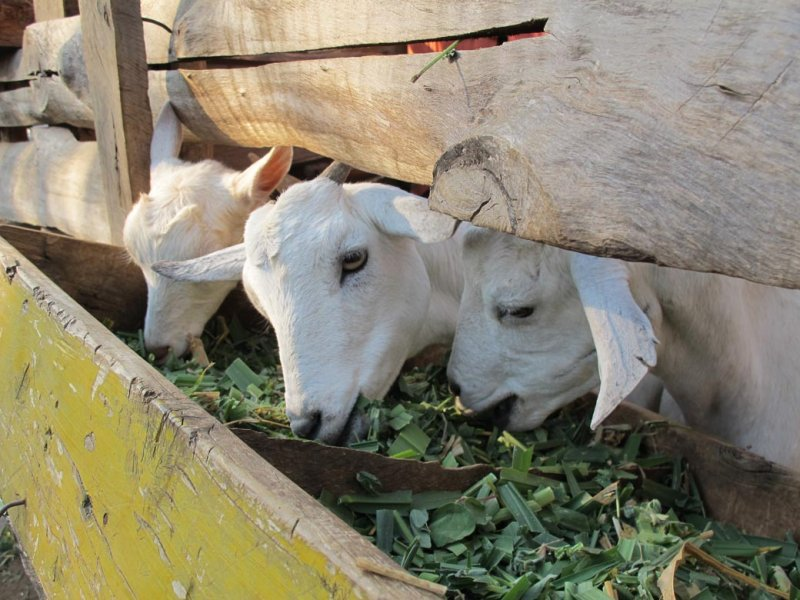 Calves fed with Mulato II in Kenya
