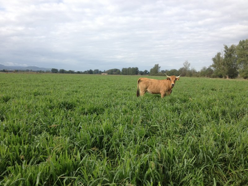 Cow in Mulato II field in Europe
