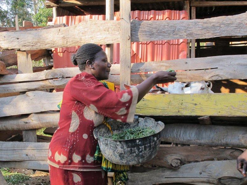 Mulato II livestock feed in Kenya