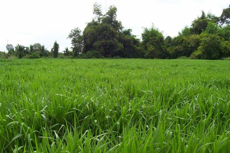 Mulato II pasture in Thailand