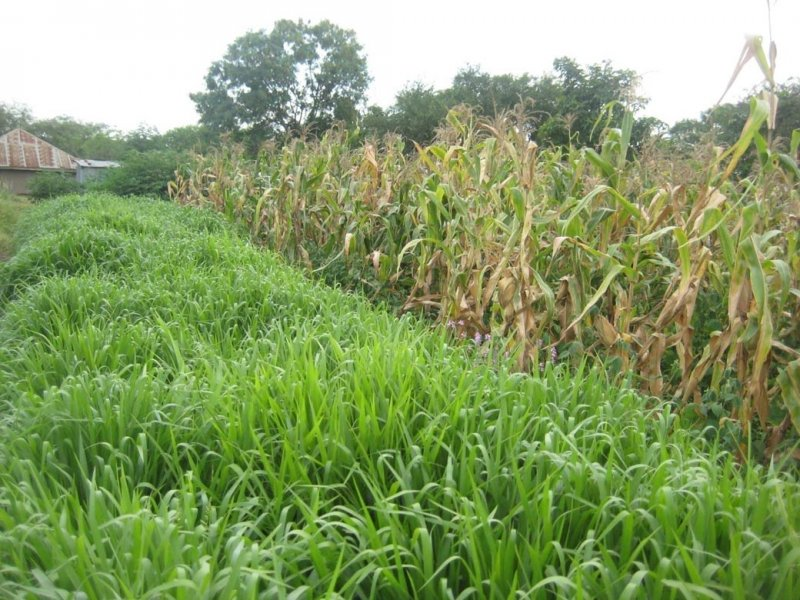 Mulato II strip in one side of maize plot in Kenya