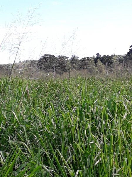 Siambasa - 60 días de plantado