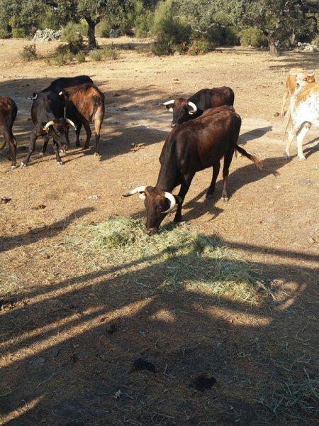 Cattle benefiting from SIAMBASA livestock, Ranch El Palmareto, Spain