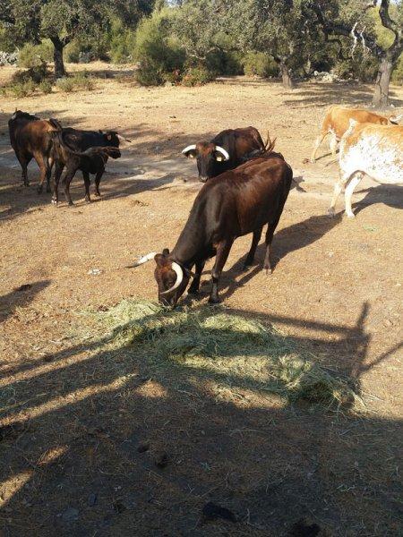 Cattle savoring SIAMBASA, Ranch El Palmareto, Spain