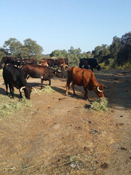 Cattle nourished with SIAMBASA, Ranch El Palmareto, Spain