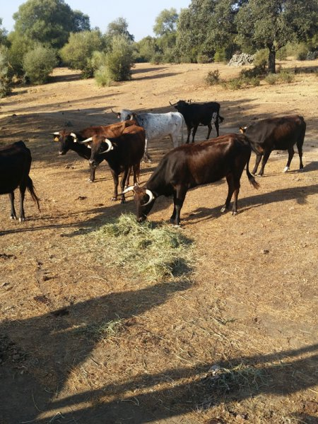 Cattle well fed with SIAMBASA, Ranch El Palmareto, Spain