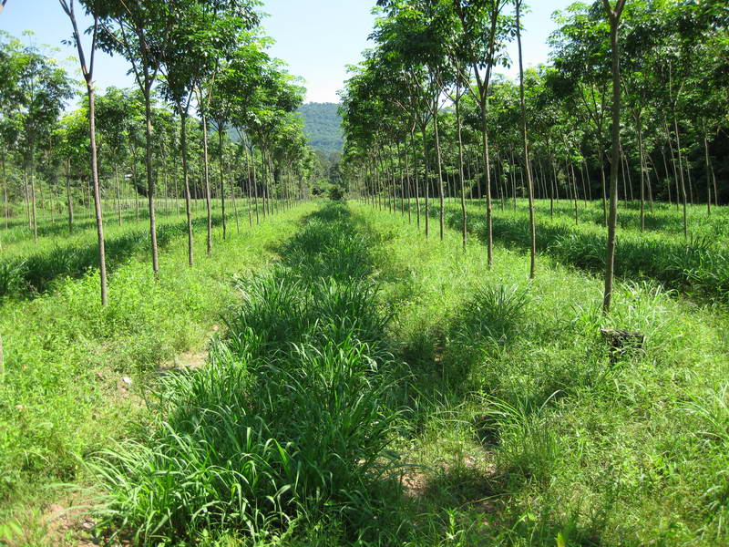 Mukdahan Baan Nong - Guinea púrpura bajo árbol de hule