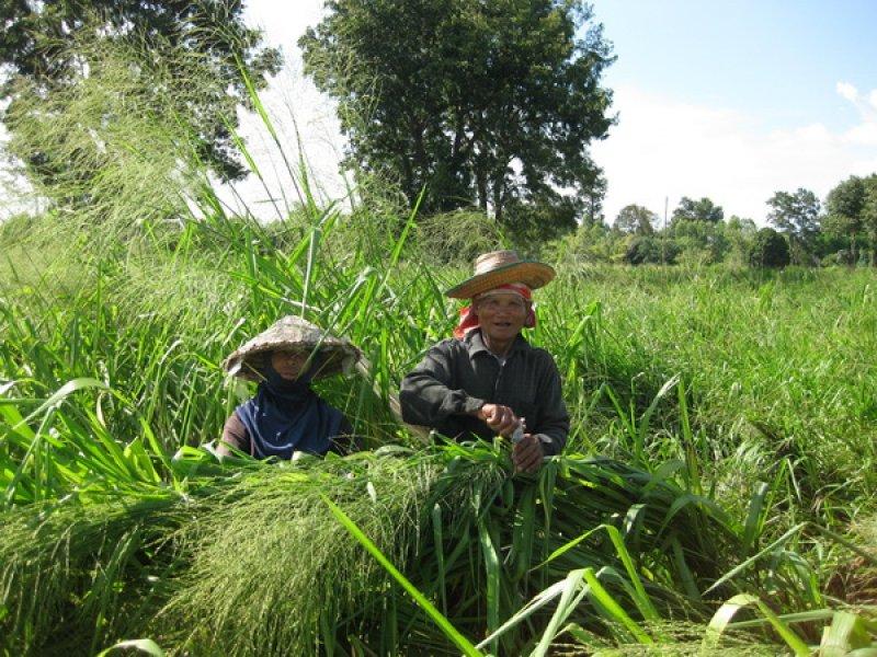 Tanzania tying seed heads