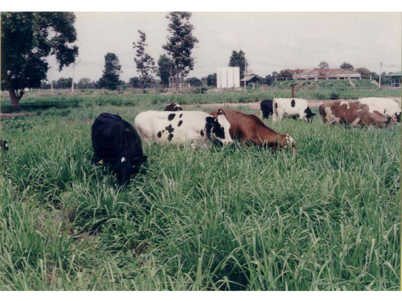 Cattle grazing Ubon Paspalum