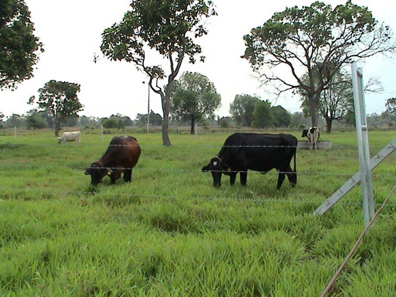 Cattle grazing Ubon Paspalum 2