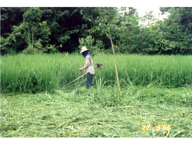 Cutting Ubon Paspalum for cut and carry