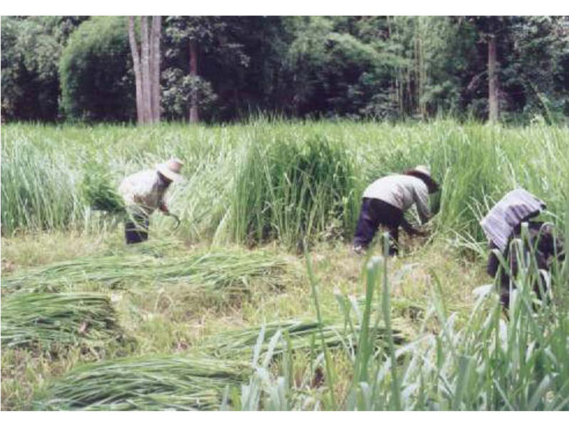 Cutting Ubon Paspalum