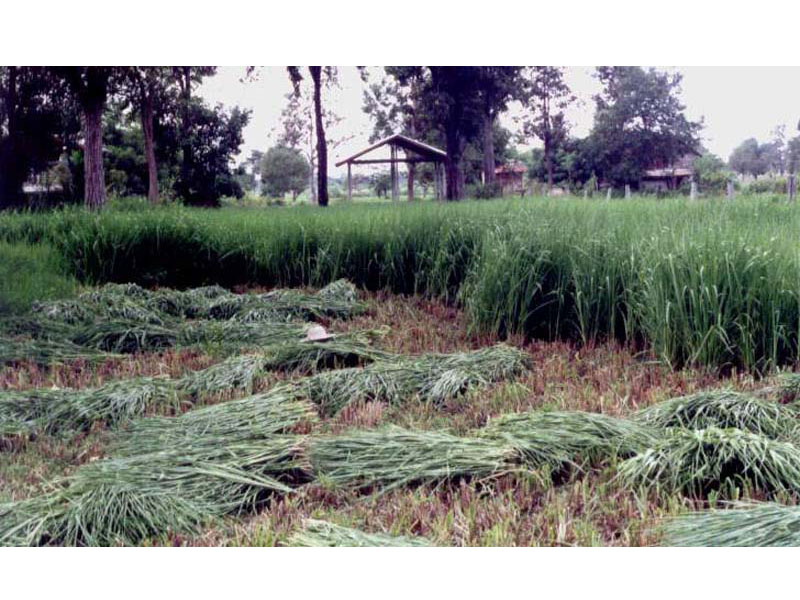 Ubon Paspalum cut and carry in village