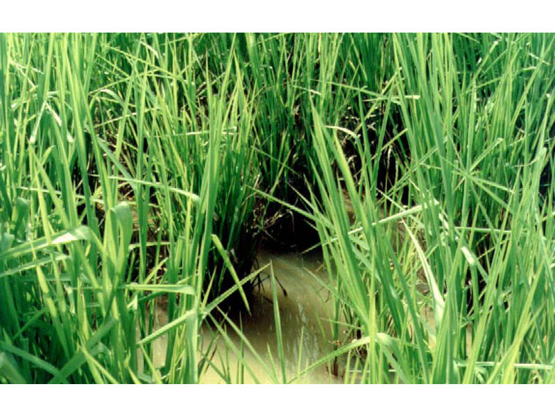 Ubon Paspalum tolerates waterlogging