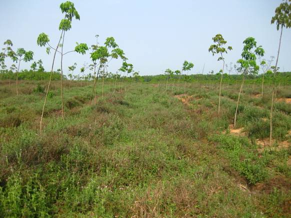 Ubon Stylo grown as a green manure between young rubber trees in Hainan, China