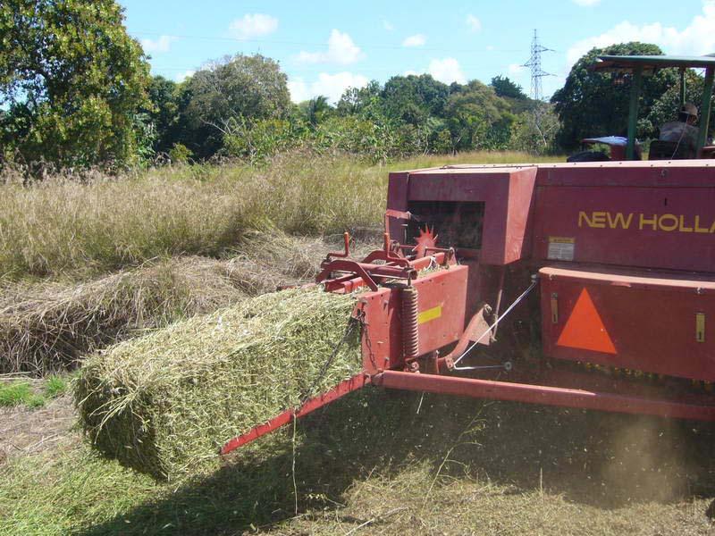 Ubon Stylo hay in Panama 3