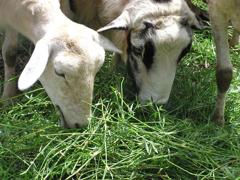 Cows grazing Ubon Stylo