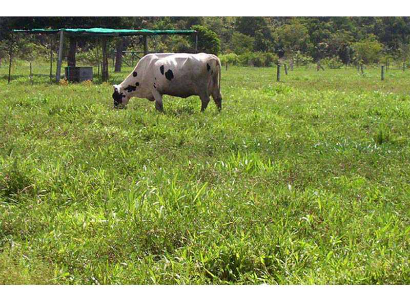 Cow grazing Ubon Stylo 2