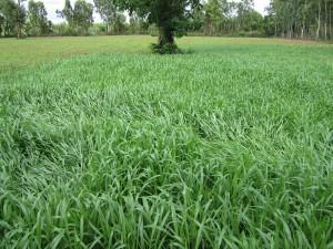 Grass Seed Animal Feed. Cayman Seed. Tropical Seeds.