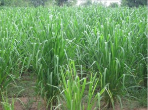 Improved Tropical Forage Seed. Mombasa Guinea Grass. Tropical Seeds.