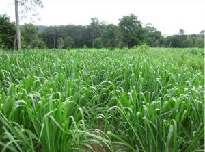 Pastures Forage Seed. Mombasa Guinea Grass. Tropical Seeds.