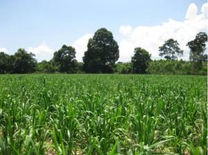 Brachiaria Grass Feed. Mombasa Grass. Tropical Seeds.