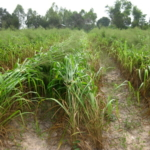 mombasa-seed-crops-2016-october-18_02