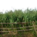 mombasa-seed-crops-2016-october-18_04