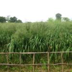 mombasa-seed-crops-2016-october-18_05