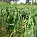 mombasa-seed-crops-2016-october-18_07